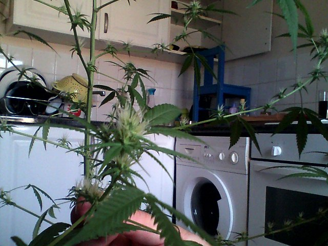 my female plant