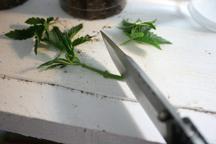 how to take cannabis cuttings video