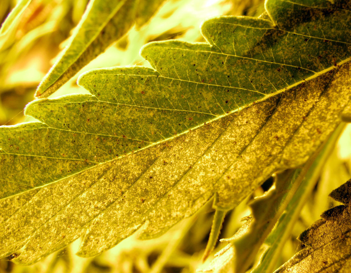 Growery - How to Kill Spider Mites - Get Rid of Spider ...