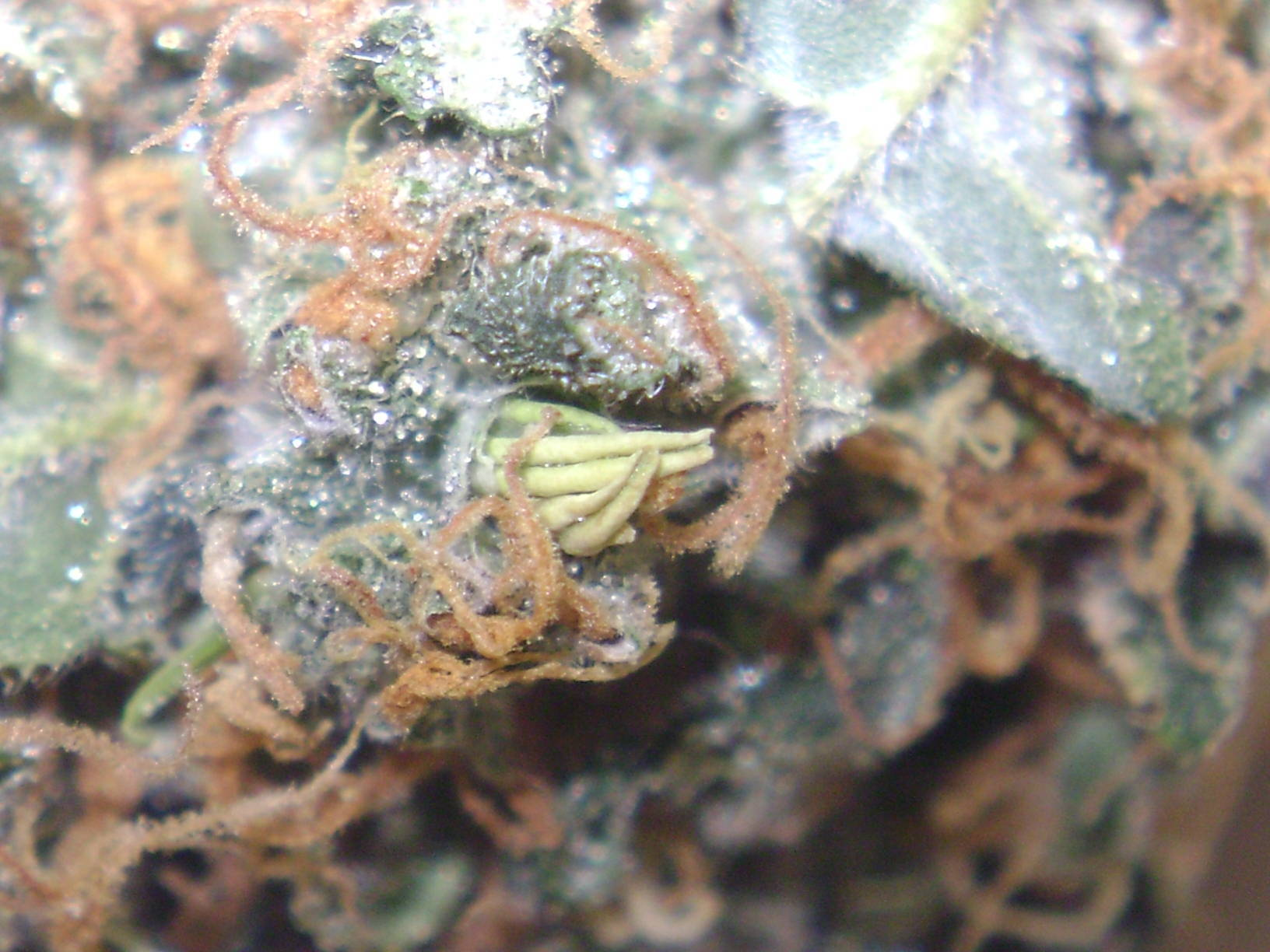 Hermaphradite closeup pics — img 11