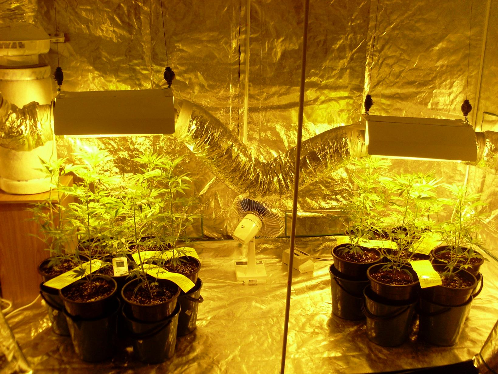 This is them after a week or so of vegging out under the hps. Now they are on day 2 of 12/12. & My 3mx1.5m growtent with 2x600w hps - Grow Journals - Growery ...