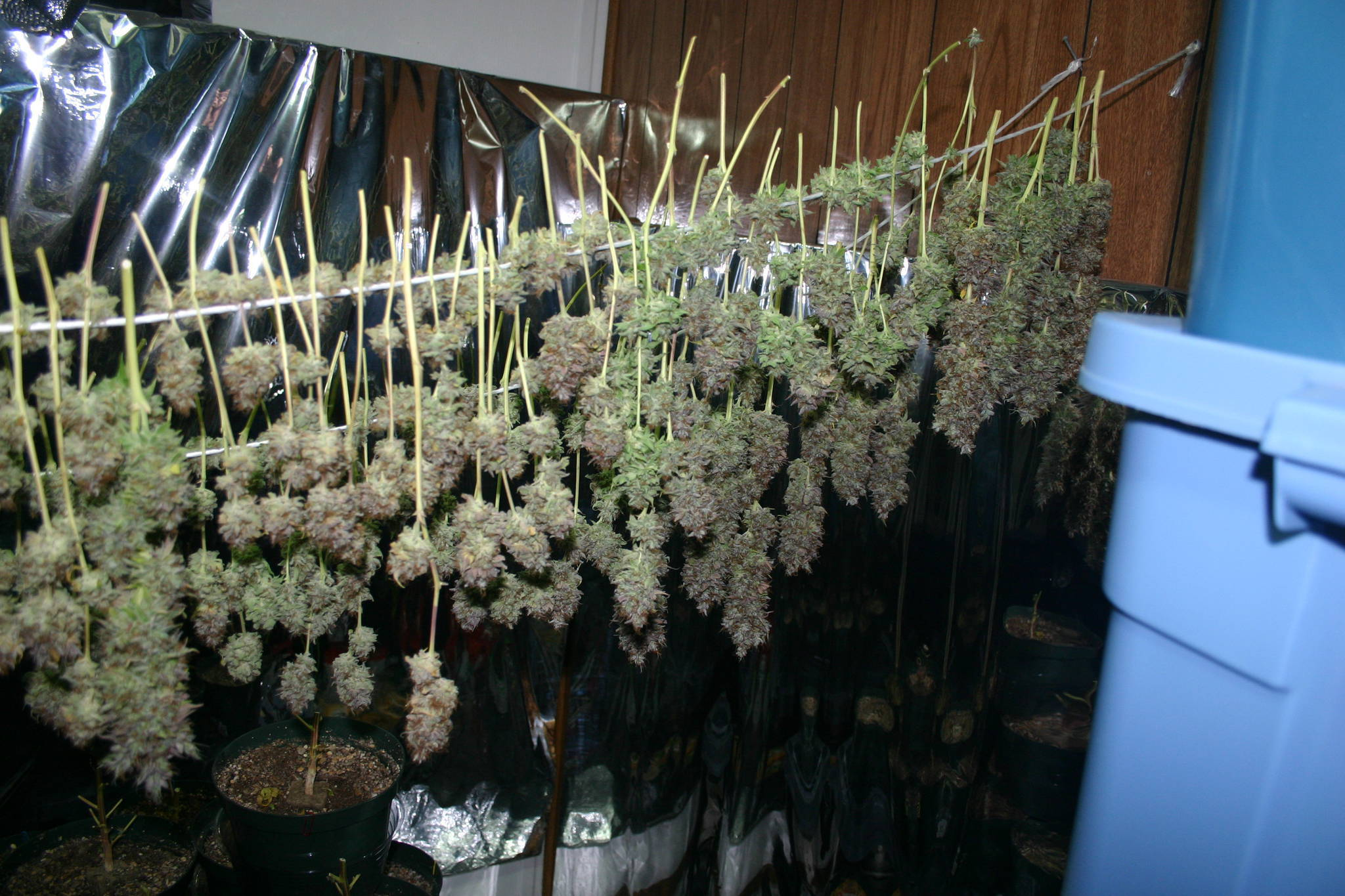 BC God bud! Part Deux - the C of green - **COMPLETE** - Grow