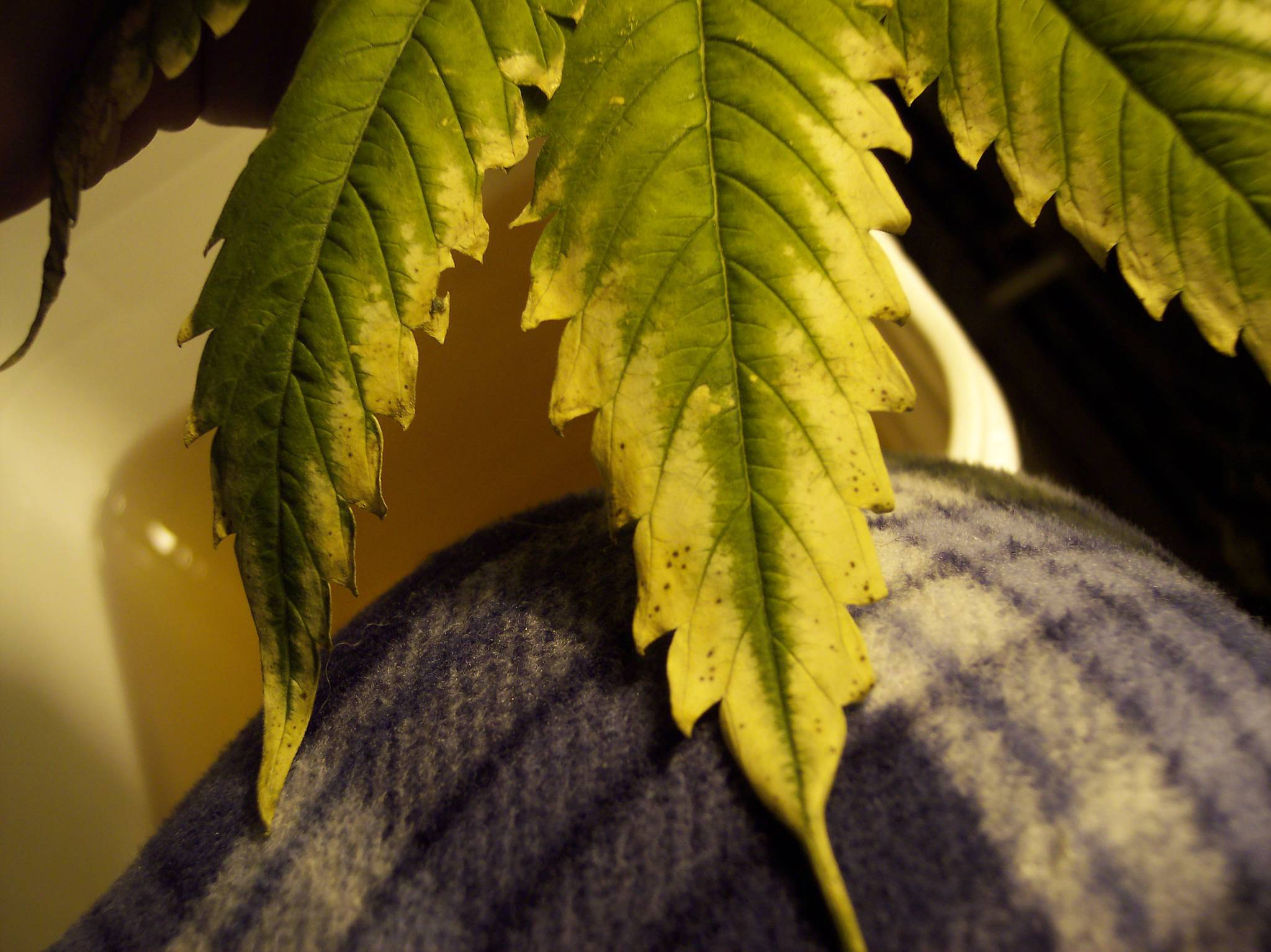 fungus gnats cannabis