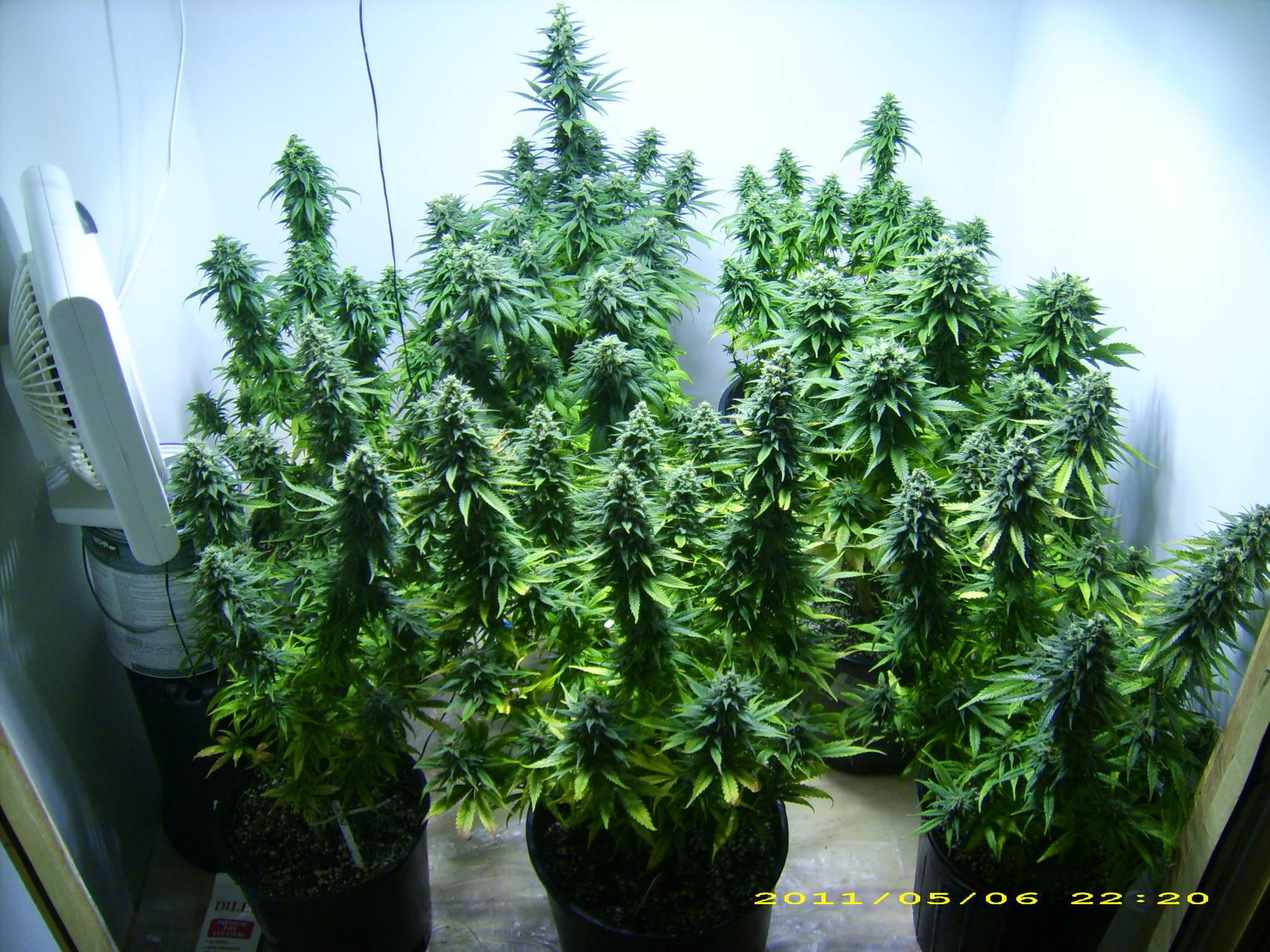 Purple Kush Weed