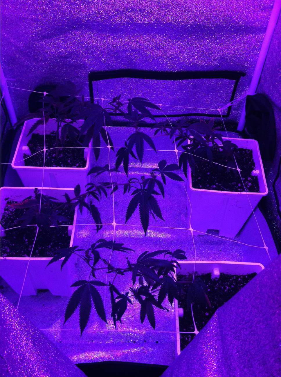 Grow Tent Unknown Led Light And 4 Og Clones Cannabis