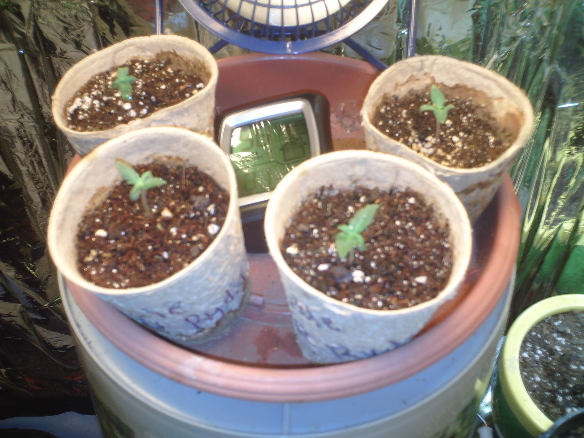 slow seedling growth.. - Cannabis Cultivation - Growery ...