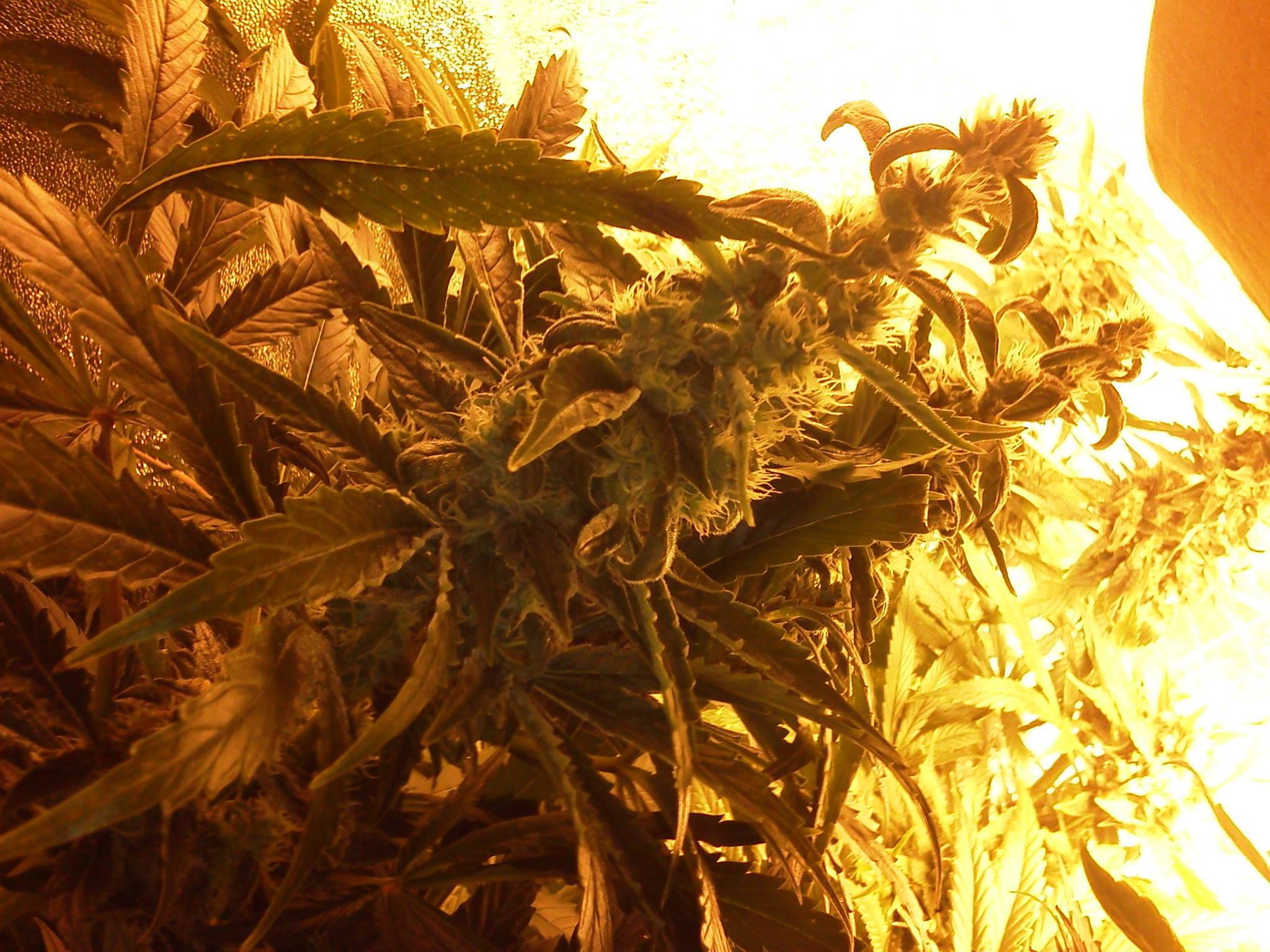 1000w HPS Topfeed DWC 4x4 Tent Grow Log w/ pics! (harvest 6/30