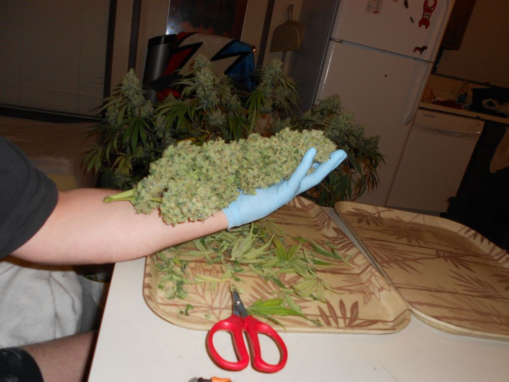 Edit Final weigh in @ 185g with that cola weighing 31g. & An LED Thanksgiving - Grow Journals - Growery Message Board
