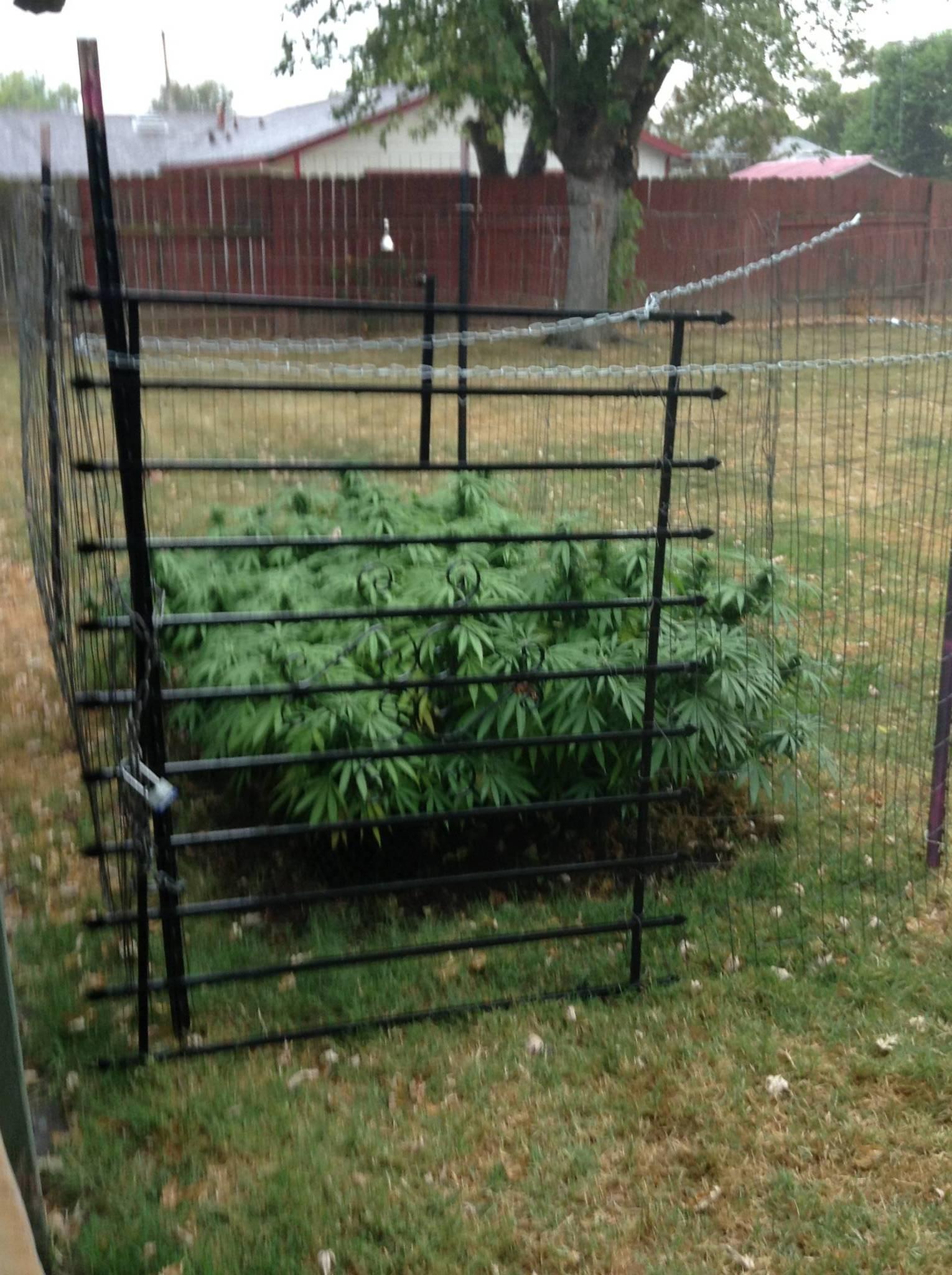 Raised Bed Cannabis