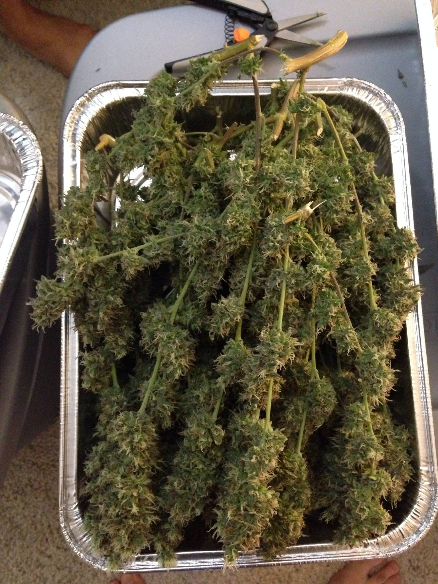 Buds are hanging on hangers in my grow tent with the carbon filter on and fans still running but not blowing in buds. Any advice on drying would be ... & Harvest Completed! *Pics* - Cannabis Cultivation - Growery Message ...