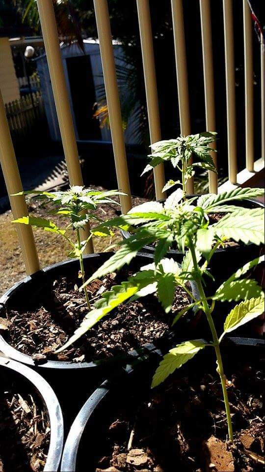 Weed Plants Budding Too Early flower too early - Can...